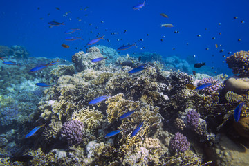 School of bright blue fishes over sunlit coral reef in the Red Sea, Egypt