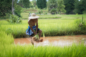 Farmer planting rice in the rainy season