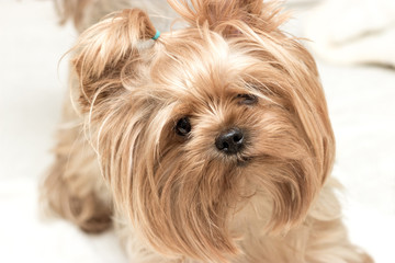Beautiful Yorkshire terrier playing.