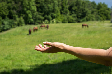 Brown horses and human hand