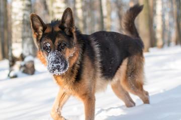 Dog german shepherd in a park in a winter