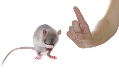 the rat is ashamed