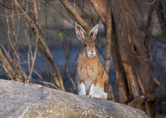 Snowshoe hare (Lepus americanus) sitting on a rock in spring