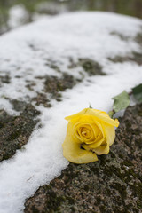 Yellow Rose on a Snowy Rock