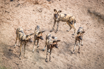 Pack of African wild dogs in the Kruger National Park, South Afr