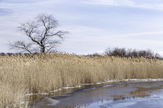 Phragmites on frozen river