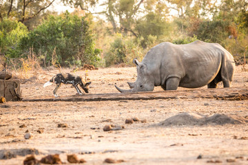 African wild dog and White rhino in the Kruger National Park, So