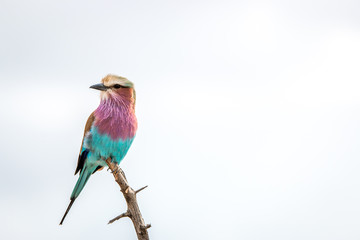Resting Lilac-breasted roller in the Kruger National Park, South