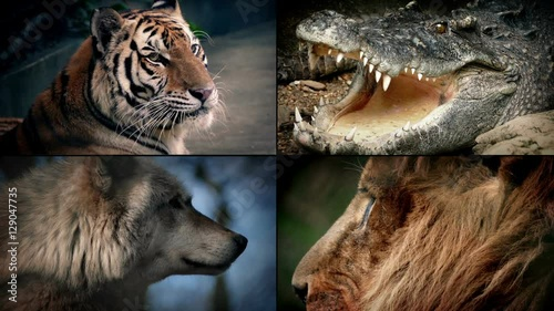 Dangerous Animals Montage - Lion, Crocodile, Tiger, Wolf