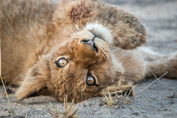 Resting Lion cub in the Kruger National Park, South Africa.