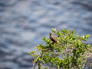 Sparrow singing in bush by lake