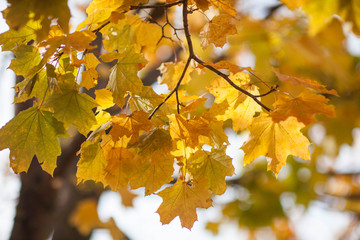 Autumn yellow maple leaf on the tree branch. Nature backgrounds