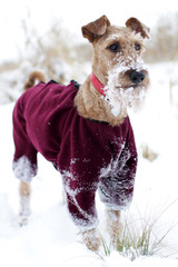 The Irish terrier is in winter on a walk