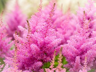 Beautiful Bush of flowers Astilbe with a fluffy pink panicles