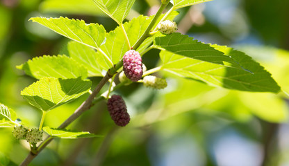 mulberry on tree branches