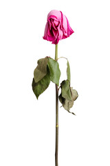 Wither pink rose