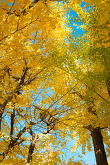 Ginkgo and blue sky in Tokyo, Japan