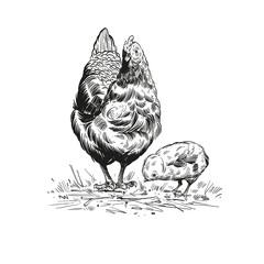 Hand drawn rooster sketch element design. Vector illustration