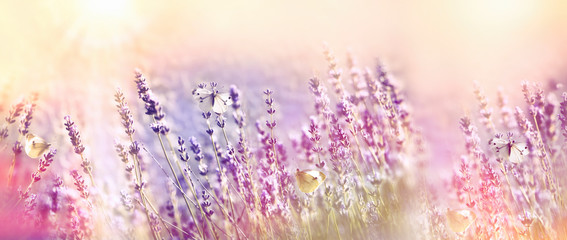 Beautiful flower garden - lavender garden and white butterfly