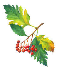 Branch Hawthorn with autumn leaves and red berries. Watercolor painting, isolated on white background.