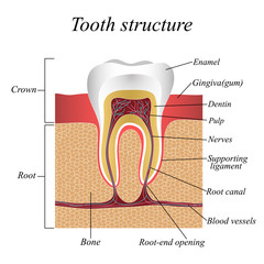 Tooth structure, training medical anatomical poster. Vector illustration.