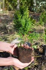 Gardener Hands Planting, Transplant Cypress tree, Thuja with Roots