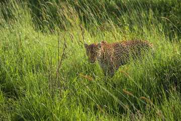 Leopard watching the prey, Serengeti, Tanzania