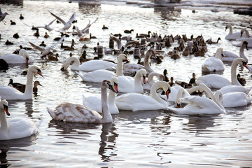 Swans and  gull in the lake