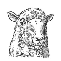Sheep head. Hand drawn in a graphic style. Vintage vector engraving illustration for info graphic, poster, web. Isolated on white background.