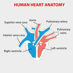 Heart human anatomy info graphic.