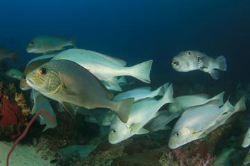 Fish school coral reef