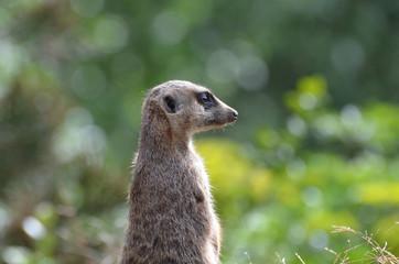 Great Profile of a Meerkat