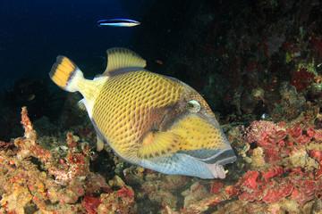 Reef fish: Titan Triggerfish
