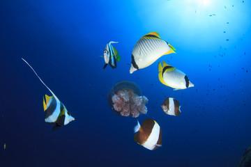 Tropical fish (Butterflyfish) feeding on Jellyfish