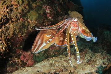 Pair Pharaoh Cuttlefish