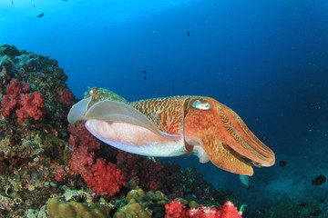 Pair Pharaoh Cuttlefish