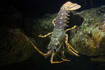 Common spiny lobster (Palinurus elephas).