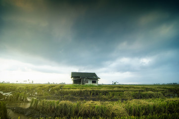 Abandon wooden house surrounded by paddy field during harvesting season. dramatic clouds rain background.selective focus and image may contain grain