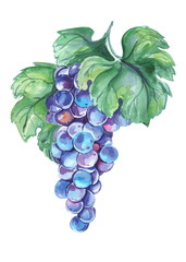 hand drawn watercolor violet grapes on branch isolated on white background.