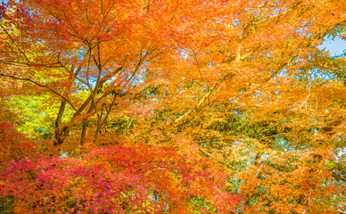 Autumn Forest in Yoshino, Nara, Japan
