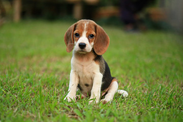 beagle dog and family outdoors