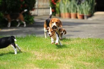beagle dog outdoors