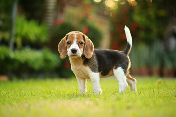 breed of beagle dog on a natural green background