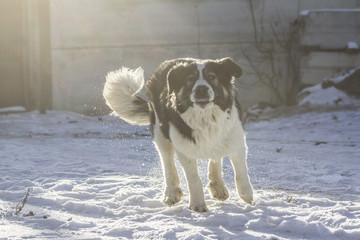 Central Asian Shepherd Dog is sitting outside on a cold winter day with snow on his face.