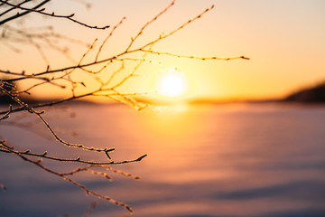 Frosty tree branch with snow in winter in sunset
