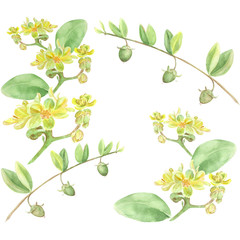 Jojoba - flowers and fruits. Branches. Watercolor painting. Wallpaper.