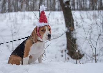 Собака породы бигль на прогулке зимой в красном рождественском колпаке