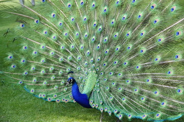 Peacock spreading and displaying his feathers