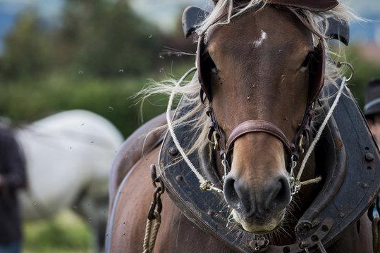 Portrait de cheval de trait