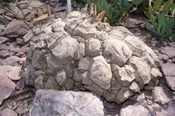 """Rock-like """"Elephant's Foot"""" plant (or Hottentot Bread) in St. Gallen, Switzerland. Its Latin name is Dioscorea Elephantipes (Syn Testudinaria Elephantipes), native to South Africa."""